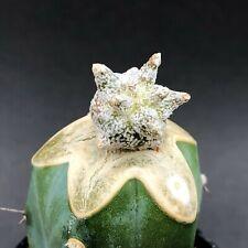 1108. Astrophytum coahuilense 'Extreme Kikko' / ARIOCARPUS obregonia STENOGONIA
