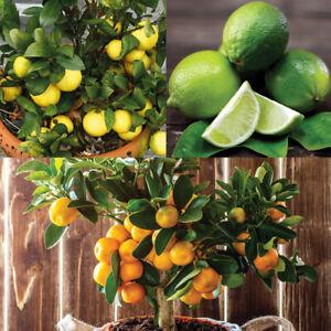 Citrus Fruit Tree Collection Garden Trees 3 x 9cm Pot Orange, Lemon and Lime T&M