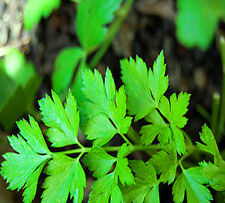 PARSLEY FLAT - 3300 SEEDS - Italian Giant - 5 grams  flat leaf overwinter