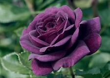 EBB TIDE - 4Lt Potted Floribunda Garden Bush Rose - Deep Purple Strong Fragrance