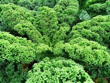 500 Graines de Chou Nain Vert Frisé, Kale Dwarf Green Curled seeds