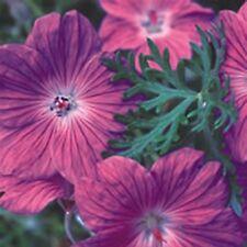 6 HARDY GERANIUM ROBUSTUM 'SILVER CLOAK' - MEDIUM PLUG PLANTS - HARDY PERENNIAL