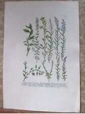 "Vintage Engraving,POLYGALA,C.1740,WEINMANN,Botanical,20x13.5"",Mezzotint"
