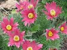 10 RED ANEMONE Pulsatilla Vulgaris PASQUE FLOWER Seeds +Gift & CombS/H