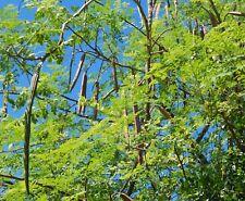 25 graines seeds MORINGA brède mouroum- Moringa oleifera ANANAMBO madagascar