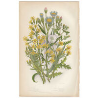 Anne Pratt antique 1st ed 1873 botanical print, Pl 124 Groundsel