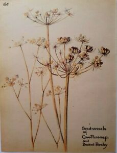 Edith Holden Cow Pasnip and Beaked Parsley Botanical Print