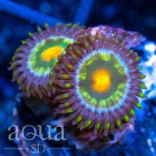 New listing Asd - 066 Ultrazorp Zoanthids - Wysiwyg - Aqua Sd Live Coral Frag