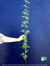 "ACER PALMATUM POLYMORPHUM cv ""VIRIDIS'' alv pianta acero giapponese verde"