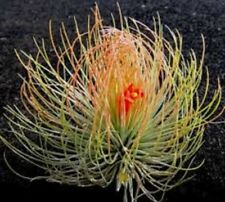 Tillandsia ANDREANA Living AirPlant airplant