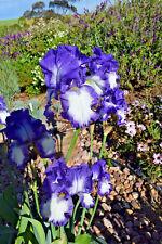 Tall Bearded Iris BABBLING BROOK (bare rooted rhizome)
