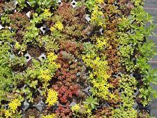 Sedum - Pflanzenpaket Sedumteppich für 4 m² Dachbegrünung, Steingarten, Mauer