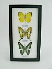 3 echte exotische Schmetterlinge im Schaukasten auf Watte Bilderrahmen -  32