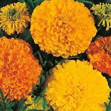 Flower Seeds Marigold Crackerjack Bee Slugs Bedding Garden Pictorial Packet UK