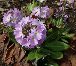 Primula Denticulata(Drumstick Primrose) -Hardy Perennial Flower Plant in 9cm Pot
