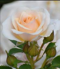 Rose Seeds 30 x Rose Flower Seeds CHAMPAGNE Rose U.K. Seller