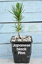 ☆Japanese Black Pine Trees, qty x2(Pinus Thunbergii) 9cm Pot, One Year Old☆