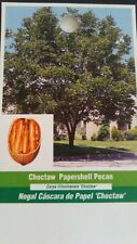 CHOCTAW PAPERSHELL PECAN TREE Shade Trees Live Healthy Plant Large Pecans Nuts