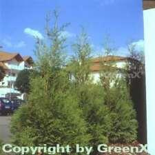 Riesenlebensbaum Excelsa 125-150cm - Thuja plicata