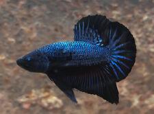 """Premium Live Betta Fish  : Male Blue Dragon (BIT009) : BO1.5"""""""