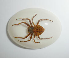 Insect Cabochon Ghost Spider Specimen Oval 40x30 mm on White 1 piece Lot