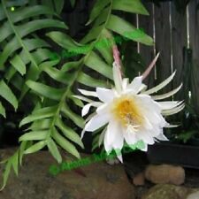 EPIPHYLLUM RARE Cactus Cacti Succulent - Chryso S3 Cutting (Will Combine Postage