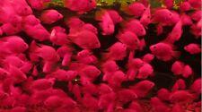 PARROT FISH CICHLID 6CM (VIOLET) NO RESERVE PERFECT