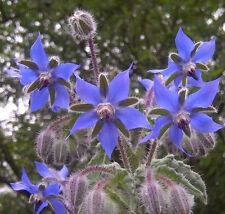 Borago officinalis Borage Blue & White mix 20 seeds