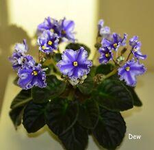 African Violet Chimera Jere'S Star Burst- Plant in Bud