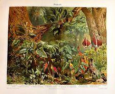 1902 ORIGINALE CROMOLITOGRAFIA = ARAZEEN o Philodendron, Pianta Tropicale= ETNA