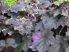 50+ HEUCHERA PALACE PURPLE FLOWER SEEDS, MICRANTHA, FRAGRANT, SHADE PLANT, EASY