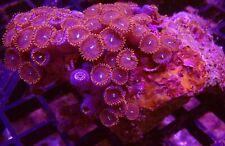 "Red Button Polyp Marine Coral 3"" x 2"" WYSIWYG  - @ BARGAIN PRICE!!!"