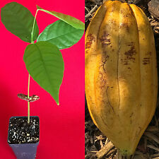 TRINITARIO Theobroma Cacao Cocoa Chocolate Fruit Tree Potted Plant Yellow Large