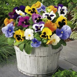 FLOWER - PANSY SWISS GIANT MIXED  - 200 SEEDS- FANCY MIXED