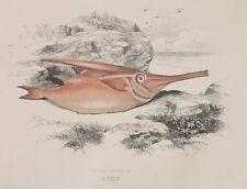 1865 CROMOLITOGRAFIA COUCH PESCI FISHES PESCE TROMBETTA