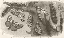 LEPIDOPTERA. Black-arches moth 1896 old antique vintage print picture