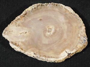 A Polished 211 Million Year OLD! Petrified Wood Fossil Slab 127gr