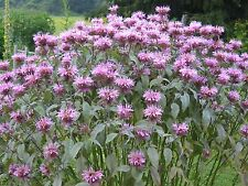 3000+ Bee Balm Seeds Bergamot Flower Monarda Fistulosa Mint Perennial Butterfly