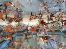 "2"" to 2.5"" Calico Ryukin -Lot of 3 Live Fancy Goldfish - Free Shipping"