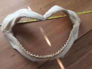 Bull Shark Jaw Bone Jaws Taxidermy Teeth Fish Ocean Sea 37cm