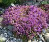 CREEPING THYME GROUND COVER Thymus Serpyllum - 1,000 Seeds
