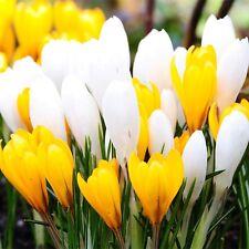"CROCUS BULBS ""White & Yellow"" Large Flowering Spring Crocus Bulbs/Corms"