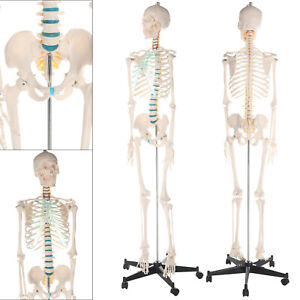 181cm Human skeleton anatomical model Life Size medical & poster & bonnet