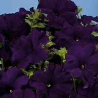 Petunia Seeds Aladdin Blue Petunia 50 Pelleted Seeds