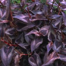 PERSICARIA RED DRAGON  UNUSUAL FOLIAGE HARDY PERENNIAL CONTAINER GARDEN PLANT