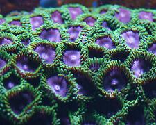 Zoanthid Purple People Eater-Purple Heart Zoa-Coral Frag ReefNation Zooanthid