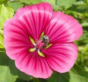 Seeds Malopa Rose Mix (Summer Mallow) Flower Annual Garden Cut Organic Ukraine