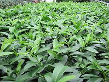 Prunus lauracerasus Mount Vernon Kriechender Kirschlorbeer Bodendecker immergrün