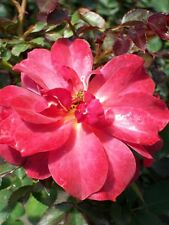 Cinco de Mayo Rose 3 Gal. Bush 2009 ARS Winner Plants Shrub Yard Plant Roses Now