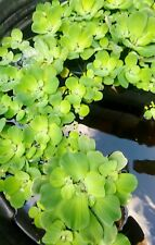 3 Pistia Stratiotes (Water Lettuce) - Live Aquarium Or Pond FREE SHIPPING!!